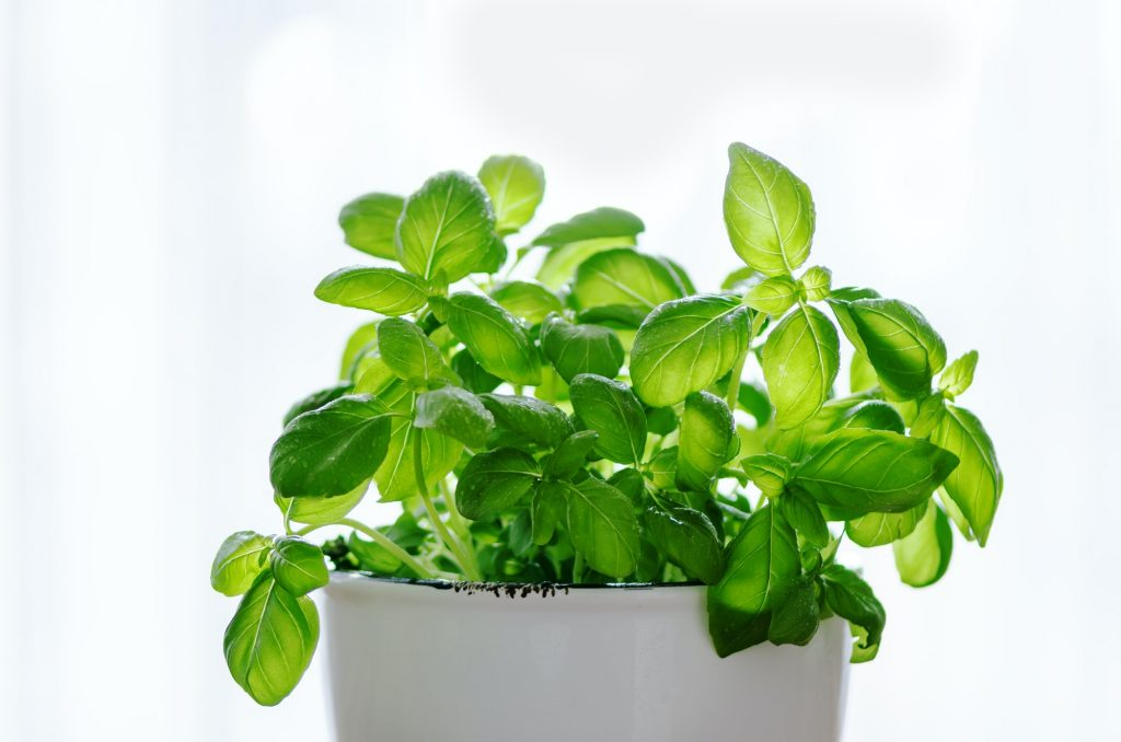 Fresh basilic in pot, herb with water drops and sunlight on white background. Macro. Close up. Copy